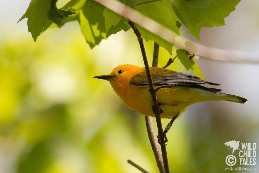 Prothonotary Warbler - Jean Lafitte National Park, Barataria Preserve  - Palmetto Trail, outside New Orleans, LA