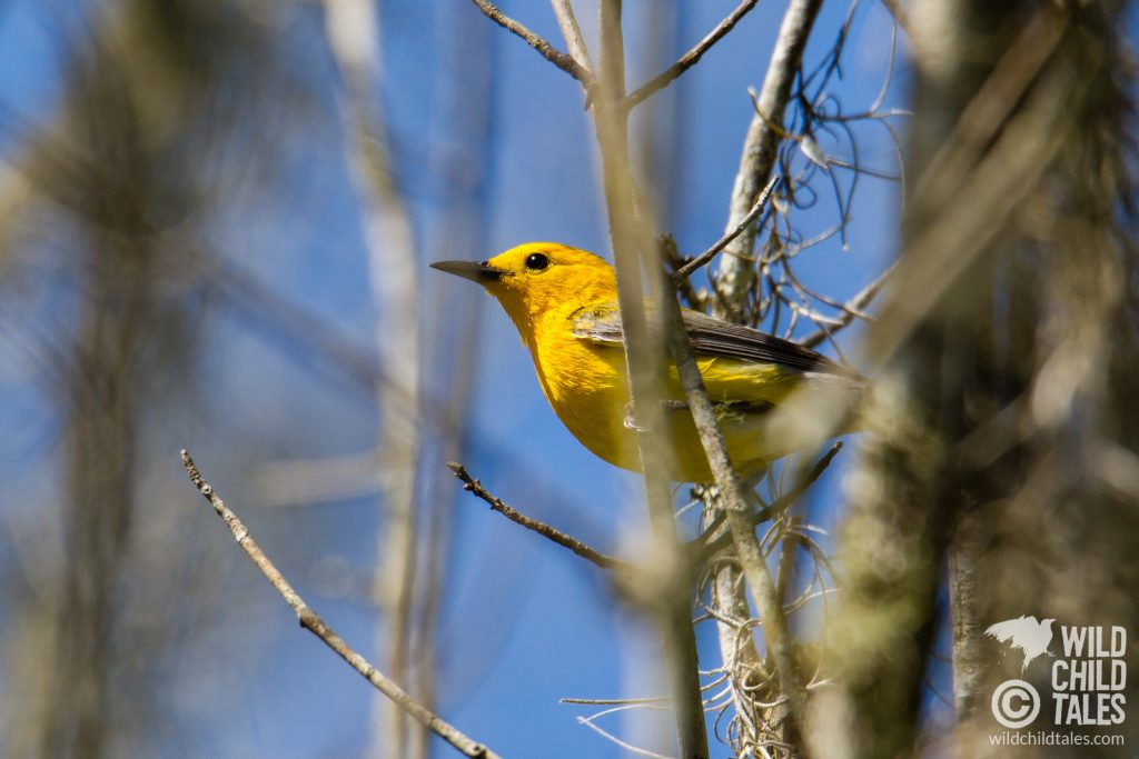 These vibrant little Prothonotary Warblers are still surprisingly hard to spot in the swampy undergrowth as you walk along the boardwalk trails. - Jean Lafitte National Park, Barataria Preserve  - Palmetto Trail, outside New Orleans, LA