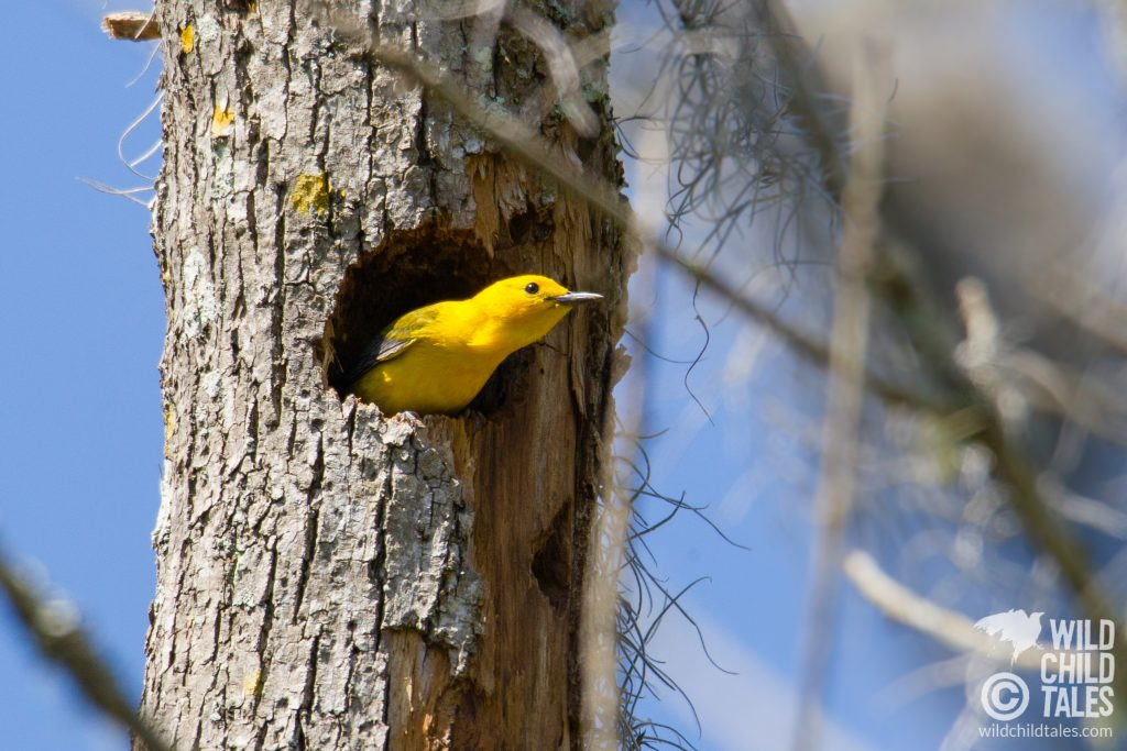 Prothonotary Warbler claiming an abandoned woodpecker hole along the trail...charming to see one in a natural nest. - Jean Lafitte National Park, Barataria Preserve  - Palmetto Trail, outside New Orleans, LA