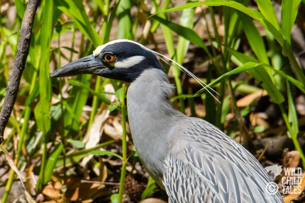 Yellow-crowned Night Heron - Jean Lafitte National Park, Barataria Preserve  - Bayou Coquille Trail, outside New Orleans, LA