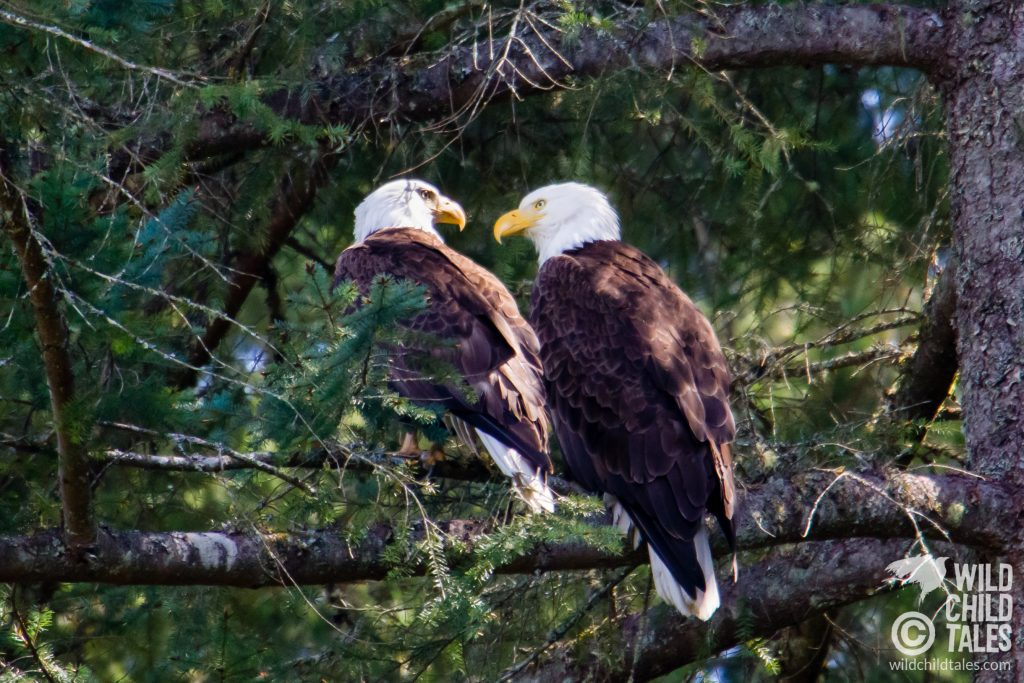 The bald eagle pair wiled away a bit of the afternoon with preening, looking for an opportune snack, and gazing at each other.  - Johnson Farm Trail, Anderson Island, WA