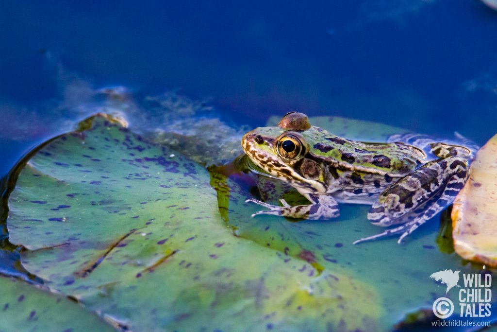"This 3"" cutie is a Southern Leopard Frog. - Back yard pond, Austin, TX"