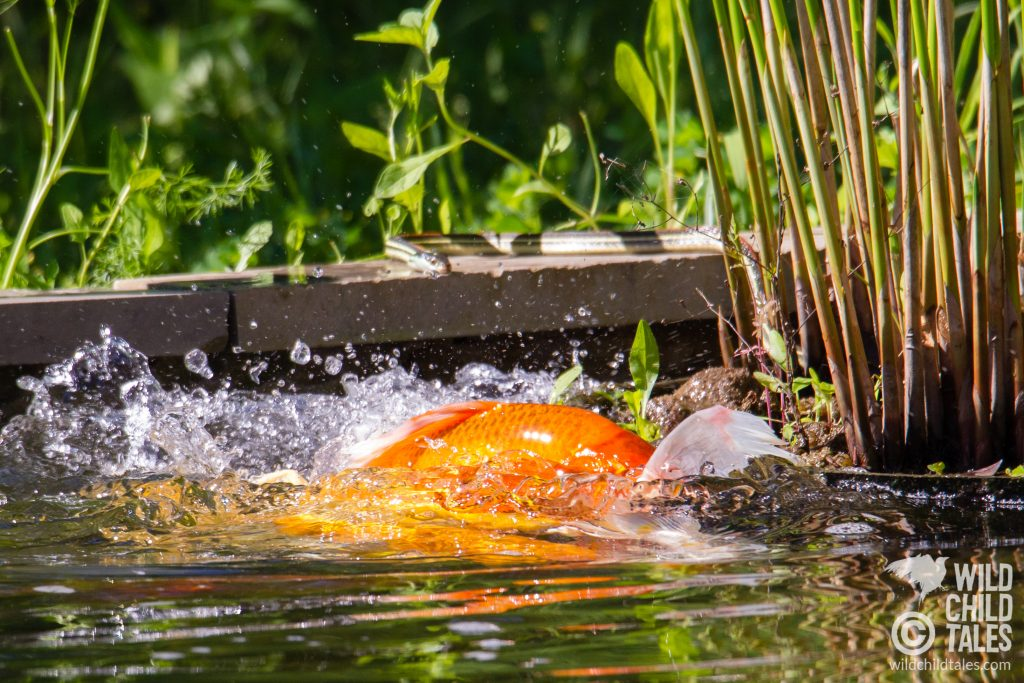 Koi spawn in the shallows, while a garter snake plays the voyeur, probably waiting for brunch to be served up fresh. This snake was in A LOT of the photos I took, taking an almost comically keen interested in the action. - Back yard pond, Austin, TX