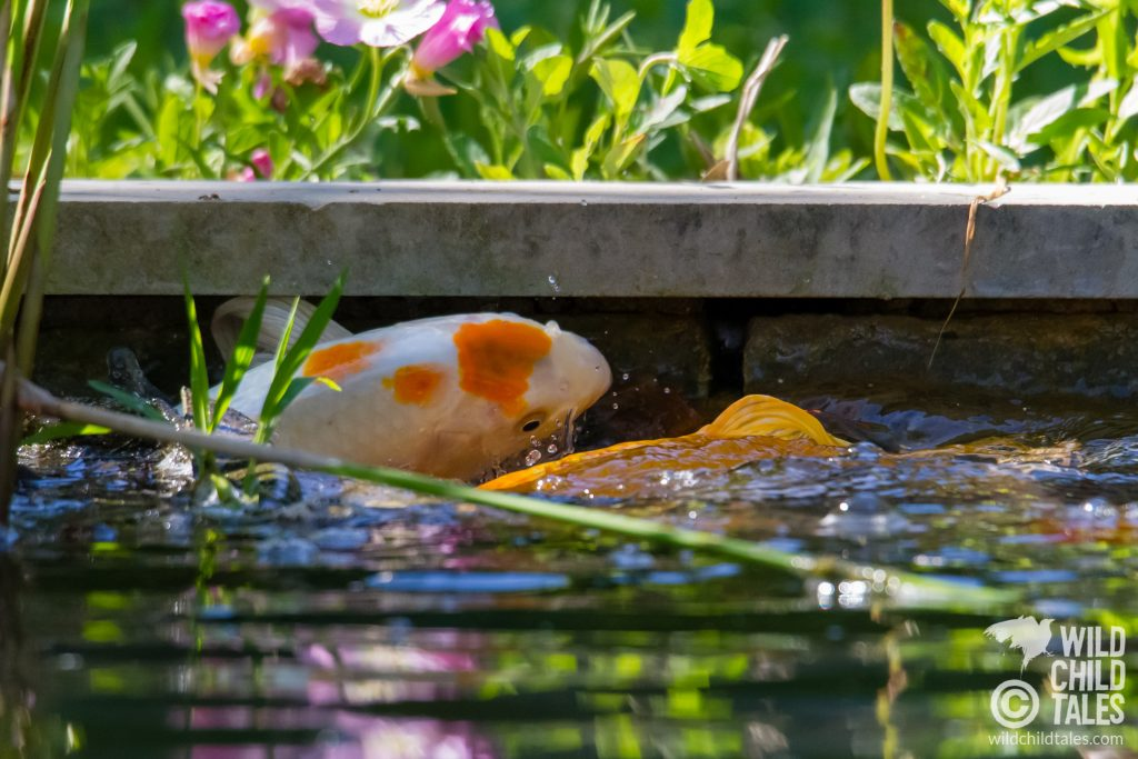 This was Day Two's Popular Girl, getting knocked into the wall as the male koi tried to get her to give it up. - Back yard pond, Austin, TX