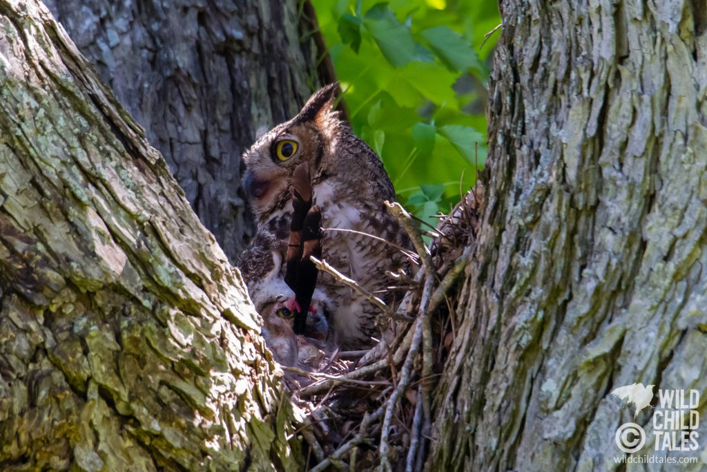 Great horned owl baby with feathers in mouth. - Commons Ford Ranch Park, Austin, TX