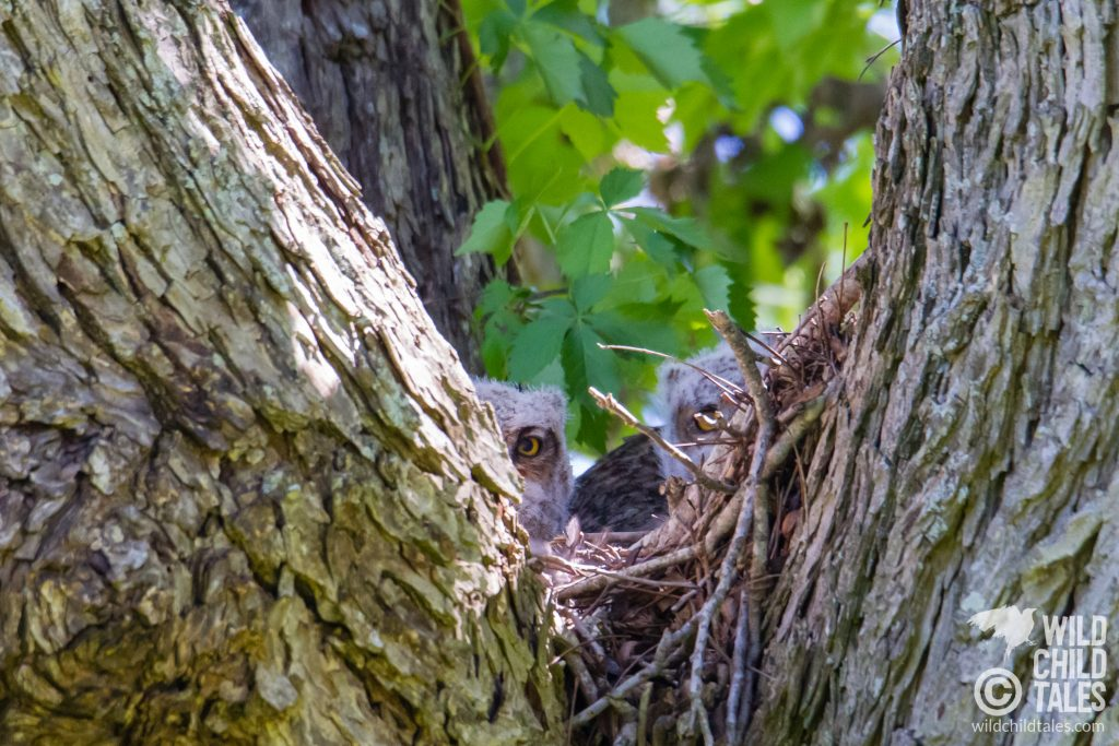 Peek-a-Boo with great horned owlets. - Commons Ford Ranch Park, Austin, TX