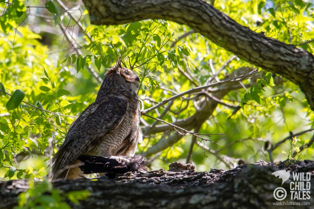 A watchful Mama Great Horned Owl with the remnants of the bird she brought to the owlets for lunch. - Commons Ford Ranch Park, Austin, TX