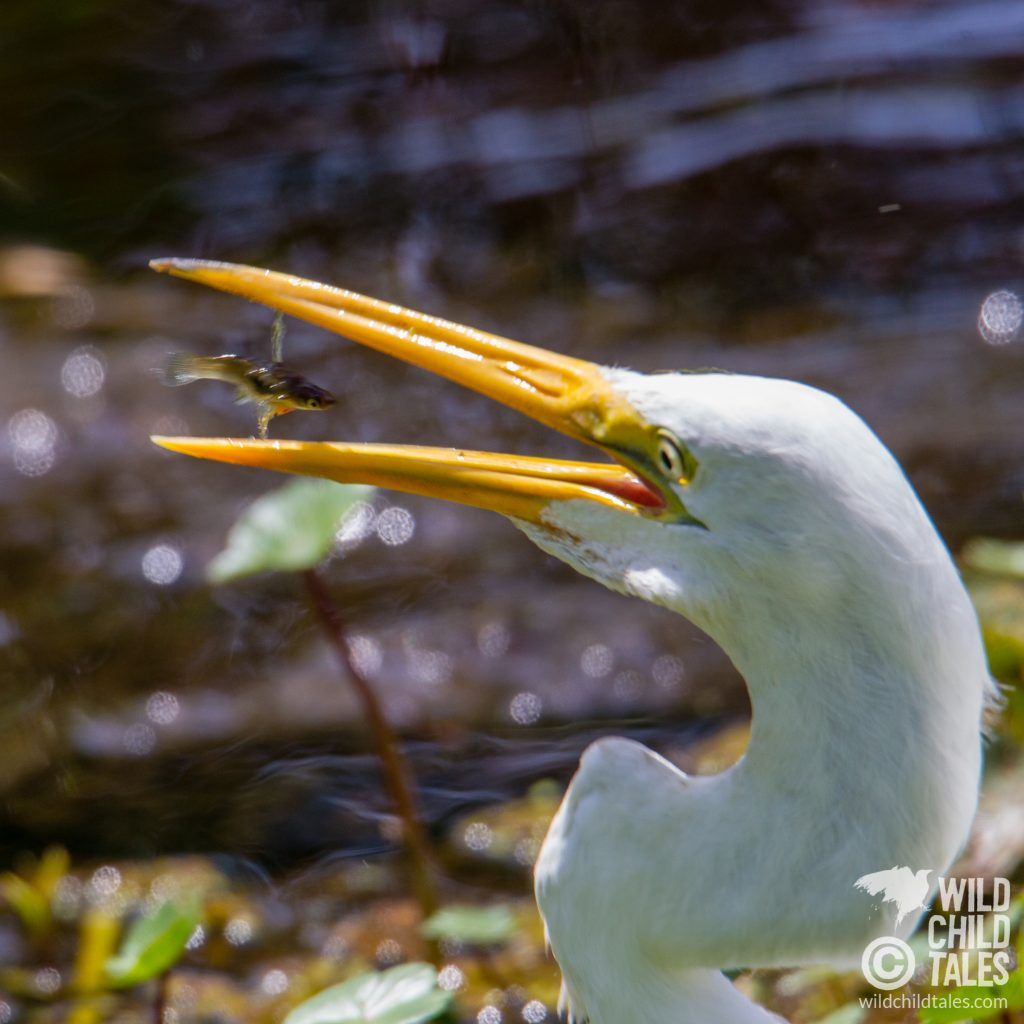 Even when you don't nail the shot, sometimes you capture an expression you can't pass up. Clearly, the minnow had other plans when the Great Egret snapped it up. - Jean Lafitte National Park, Barataria Preserve  - Marsh Overlook Trail, outside New Orleans, LA