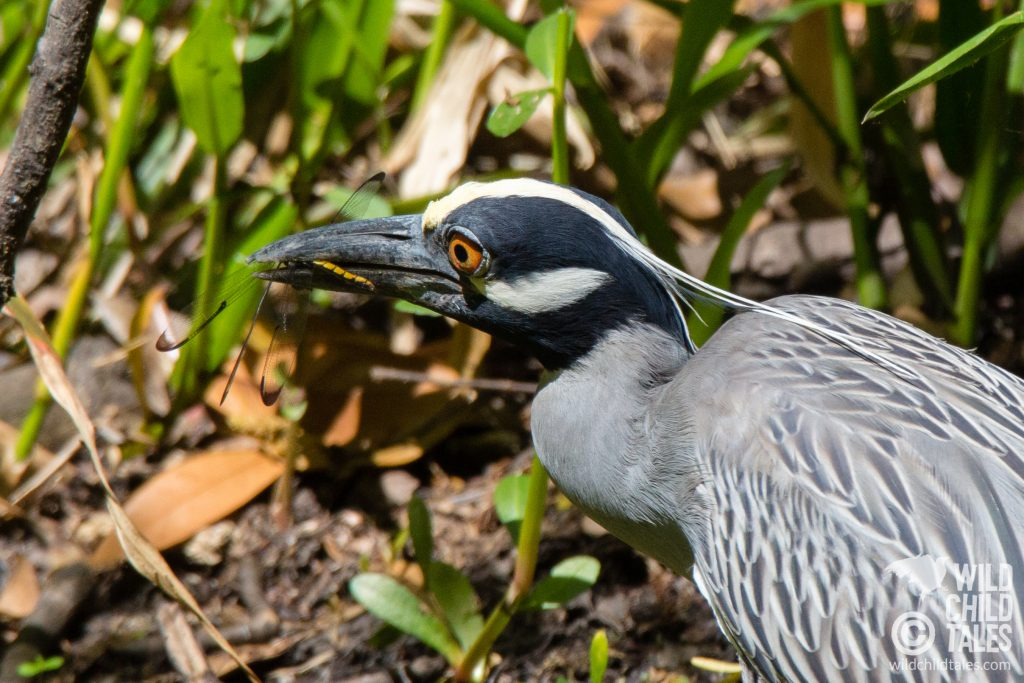 "Because of its natural wide-eyed look, I couldn't help but imagine this Yellow-crowned Night Heron was a vegetarian horrified with its own urges, thinking ""WHAT HAVE I DONE?"" - Jean Lafitte National Park, Barataria Preserve  - Bayou Coquille Trail, outside New Orleans, LA"