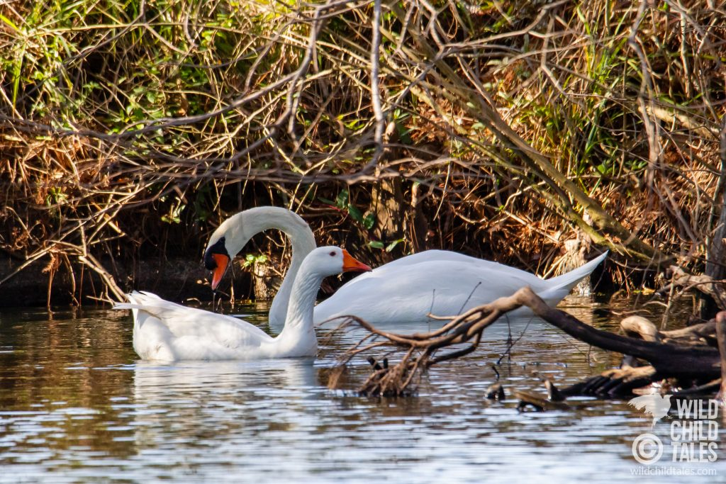 Mute Swan & Embden Goose, Foraging for Lunch