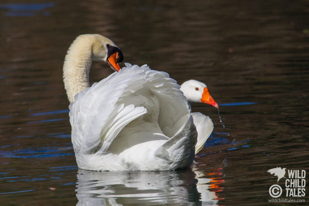 Initially, it was the swan's posture that caught my eye – so iconic, with his wings arched upward, and neck in a graceful s-shaped curve with feathers all fluffed up.