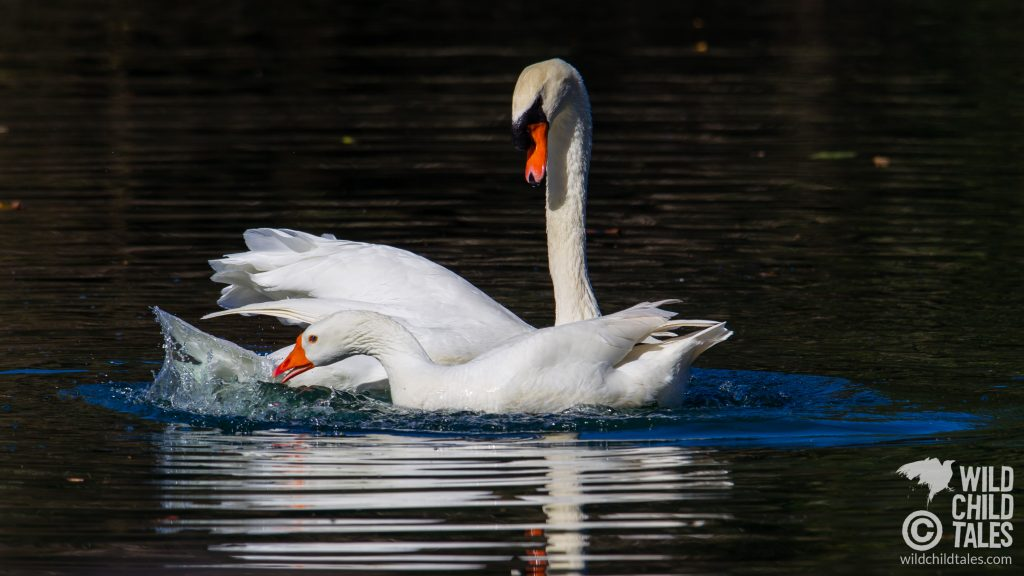 Courtship behavior between male Mute Swan with Embden Goose female partner, New Orleans, LA - February 2, 2020
