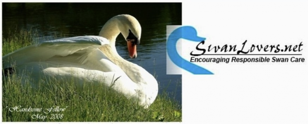 SwanLovers.net is a great resource about care, rescue and behavior of swans